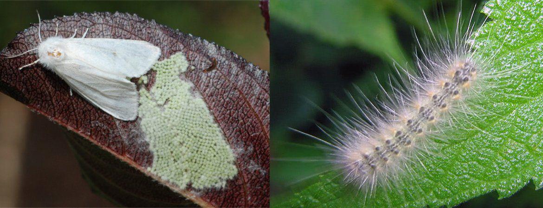 Небезпечний мандрівник -  Американський білий метелик
