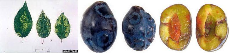 Потівірус шарки сливи — (Plum pox potyvirus)