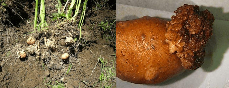 І картопля хворіє раком. Як його розпізнати?