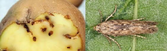Картопляна міль (Phthorimaea operculella Zell.)