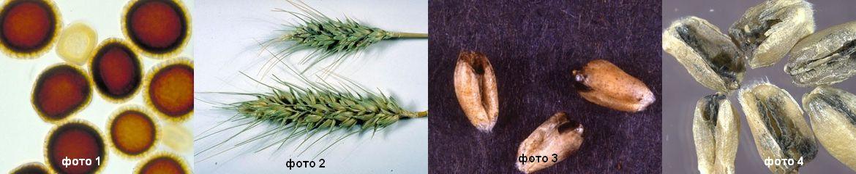 Індійська сажка – вид, який уражує виключно пшеницю.