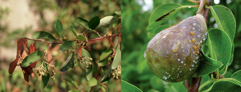 Бактеріальний опік плодових — небезпечне карантинне захворювання плодових насаджень.