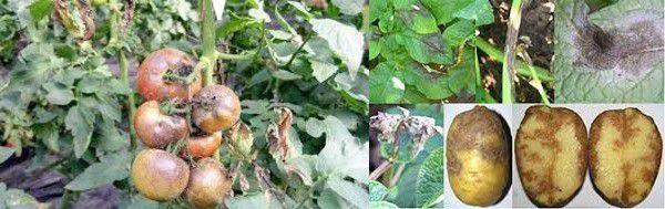 Фітофтороз Phytophthora infestans - (в народі - фітофтора)