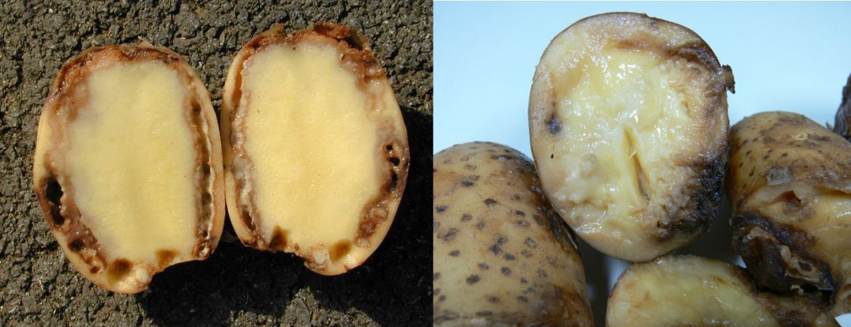 Бура гниль картоплі - (Ralstonia solanacearum)