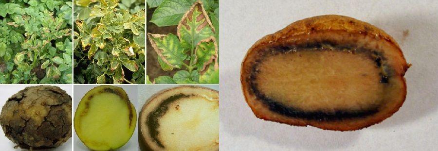 Кільцева гниль картоплі (Clavibacter michiganensis ssp. sepedonicum Davis et al.)