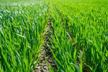 молодая-пшеница-растет-в-поле-115163600.jpg